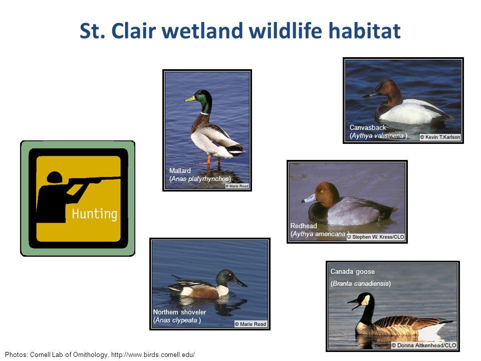 St. Clair wetland wildlife habitat Photos: Cornell Lab of Ornithology, http://www.birds.cornell.edu/ Mallard (Anas platyrhynchos) Canvasback (Aythya v