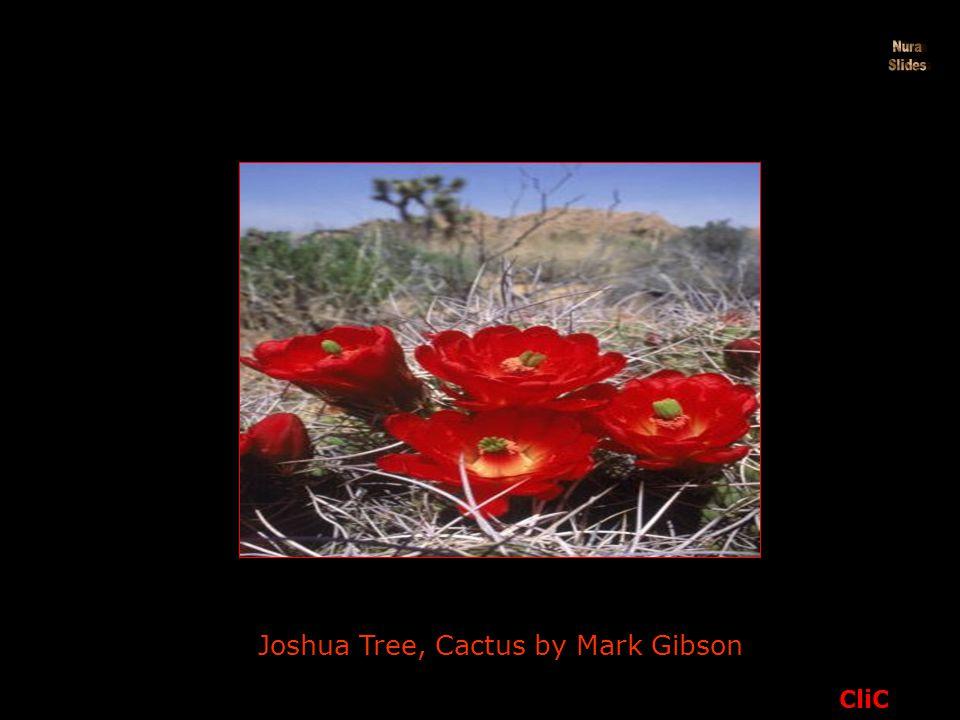 Joshua Tree, Cactus by Mark Gibson CliC