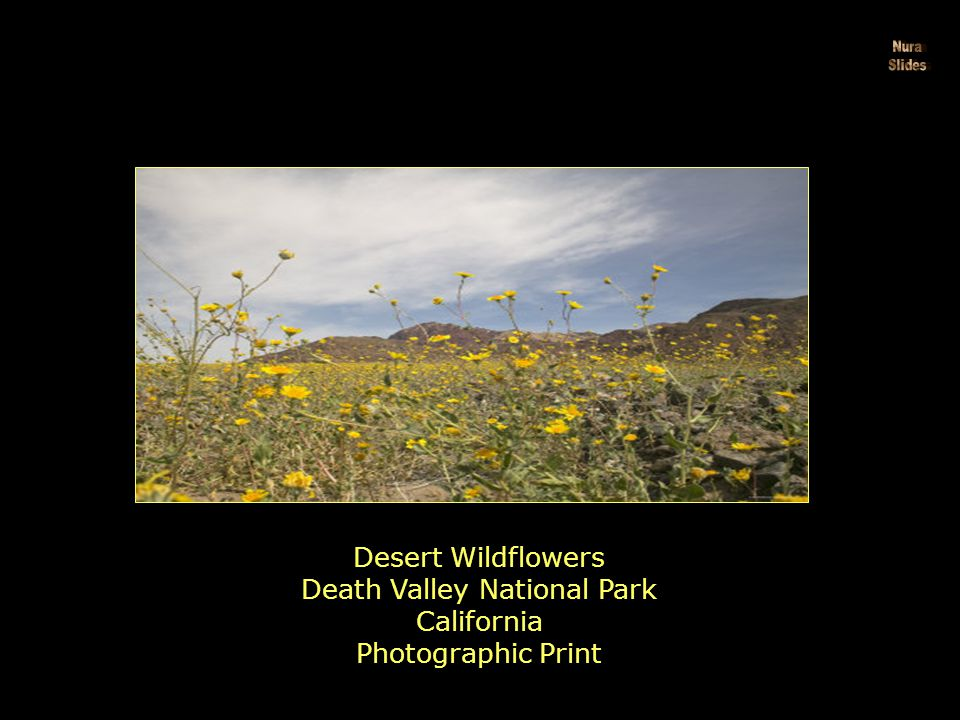 Desert Lily Blooming in the Sand California by Rich Reid
