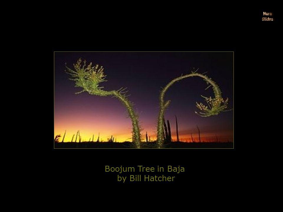 Boojum Tree in Baja by Bill Hatcher