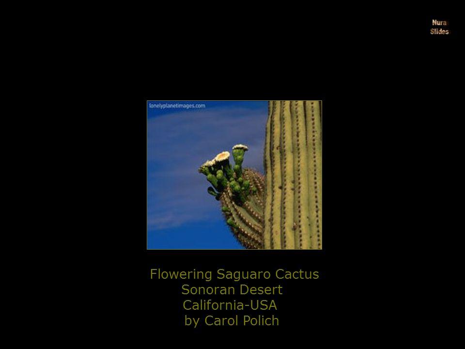 Flowering Saguaro Cactus Sonoran Desert California-USA by Carol Polich