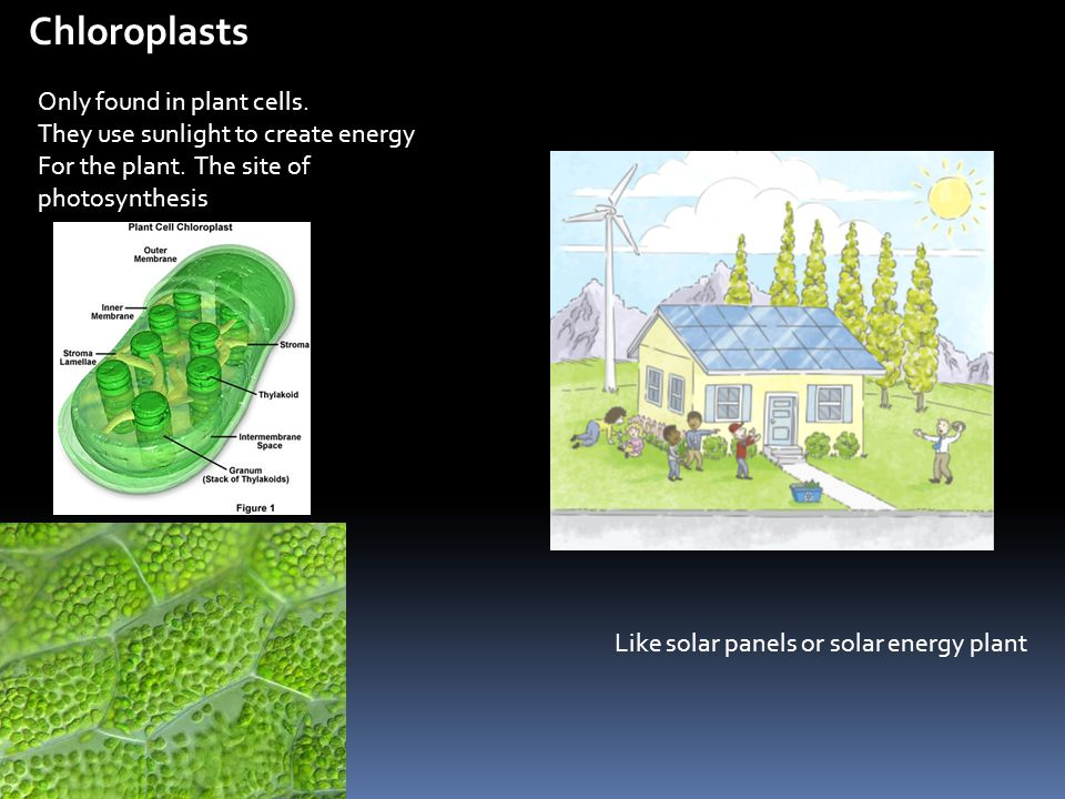 Chloroplasts Only found in plant cells. They use sunlight to create energy For the plant. The site of photosynthesis Like solar panels or solar energy