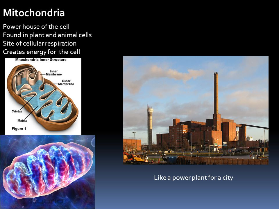 Mitochondria Power house of the cell Found in plant and animal cells Site of cellular respiration Creates energy for the cell Like a power plant for a