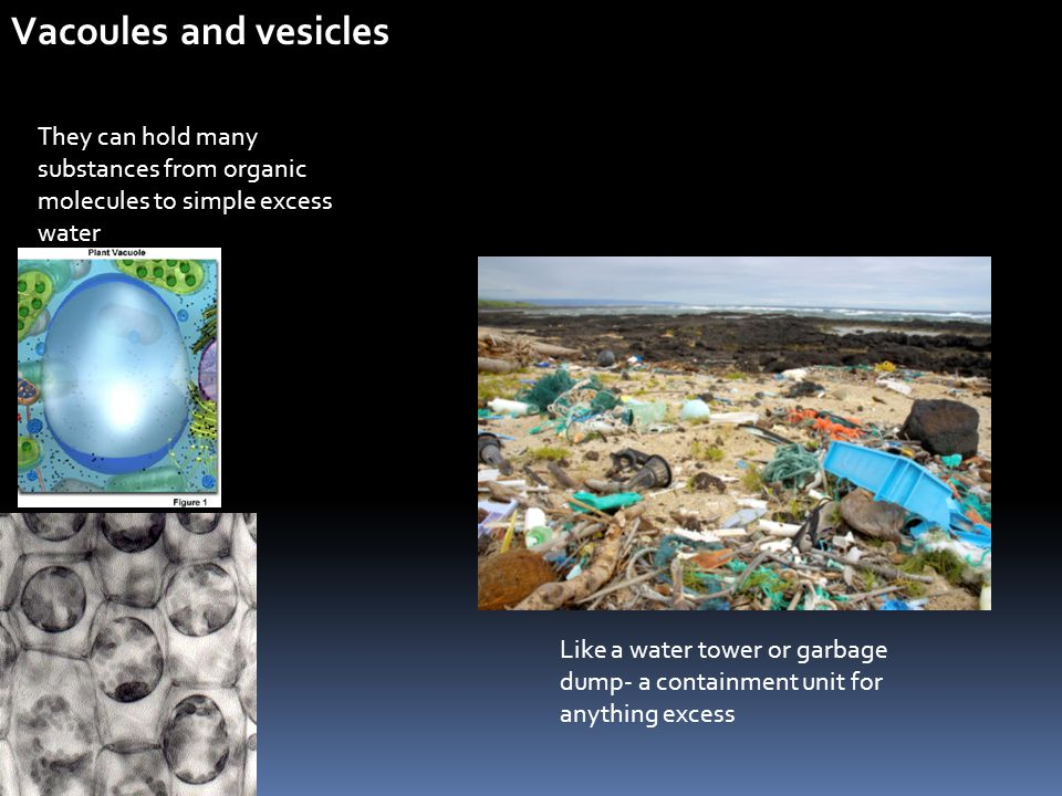 Vacoules and vesicles They can hold many substances from organic molecules to simple excess water Like a water tower or garbage dump- a containment un
