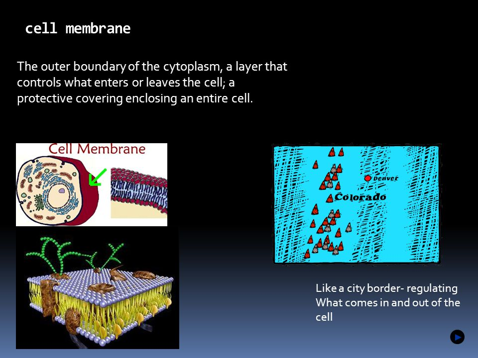 The outer boundary of the cytoplasm, a layer that controls what enters or leaves the cell; a protective covering enclosing an entire cell. cell membra