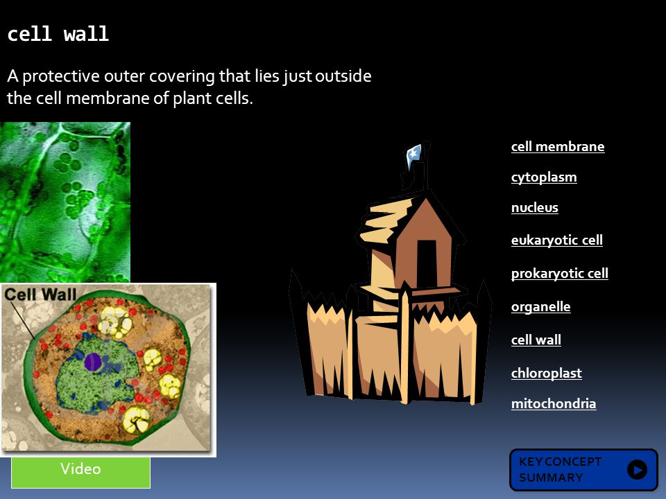 Organelles that release energy by using oxygen to break down sugars.
