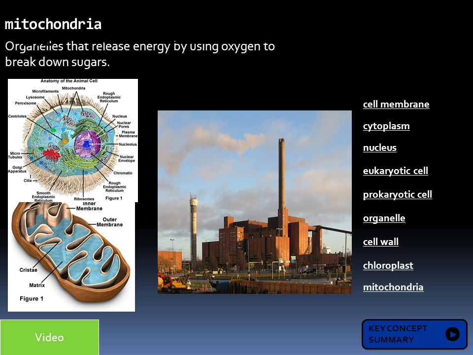 Organelles that release energy by using oxygen to break down sugars. mitochondria 1.2 KEY CONCEPT SUMMARY KEY CONCEPT SUMMARY Microscopes allow us to