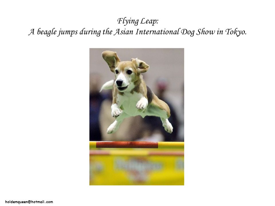 Flying Leap: A beagle jumps during the Asian International Dog Show in Tokyo.