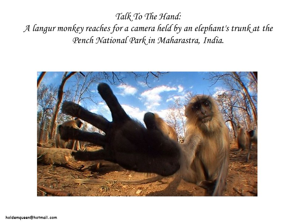 holdemqueen@hotmail.com Talk To The Hand: A langur monkey reaches for a camera held by an elephant s trunk at the Pench National Park in Maharastra, India.