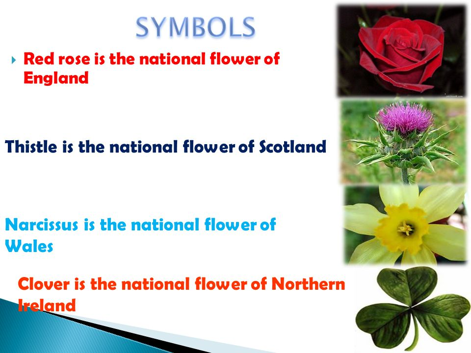 Red rose is the national flower of England Thistle is the national flower of Scotland Narcissus is the national flower of Wales Clover is the national flower of Northern Ireland