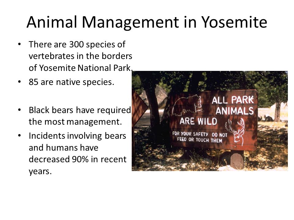 Animal Management in Yosemite There are 300 species of vertebrates in the borders of Yosemite National Park. 85 are native species. Black bears have r