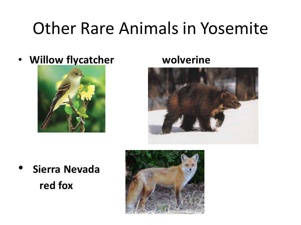 Other Rare Animals in Yosemite Willow flycatcher wolverine Sierra Nevada red fox