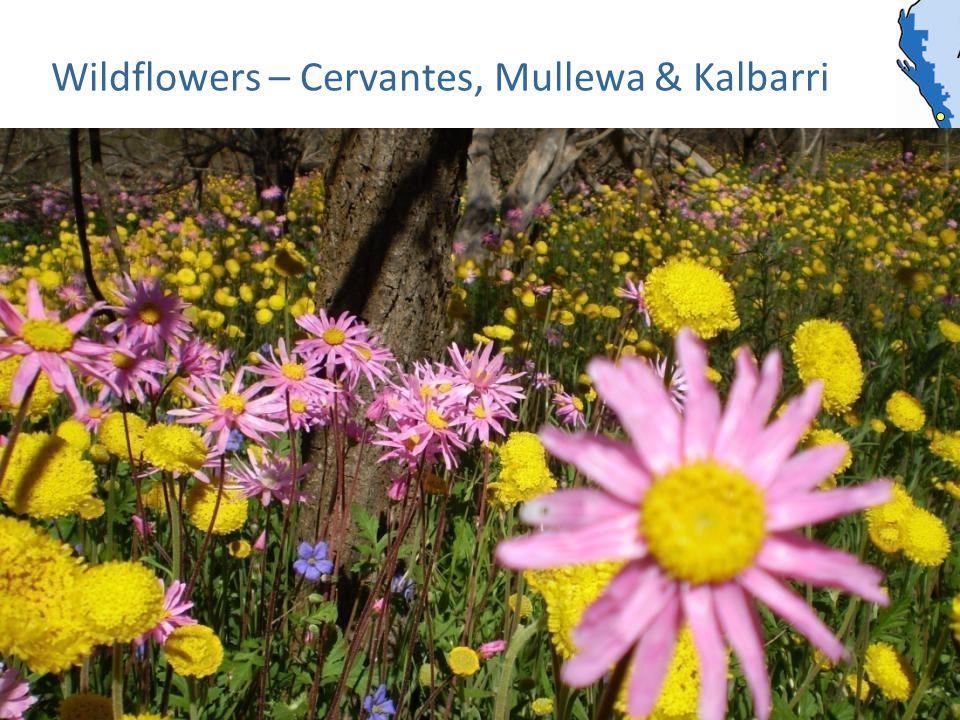 Wildflowers – Cervantes, Mullewa & Kalbarri
