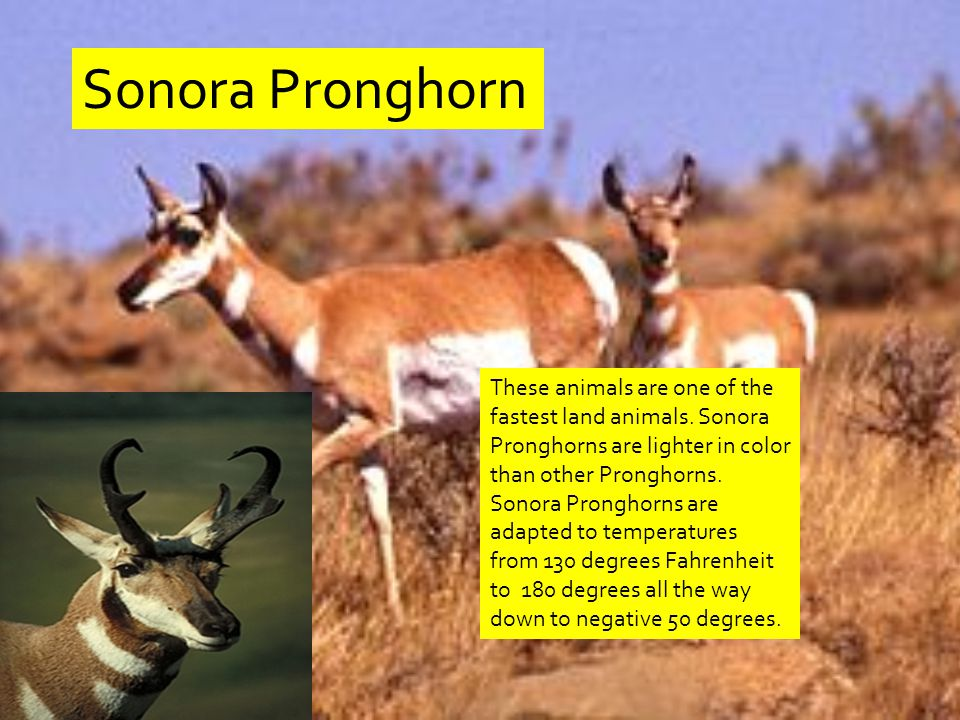 Sonora Pronghorn These animals are one of the fastest land animals.