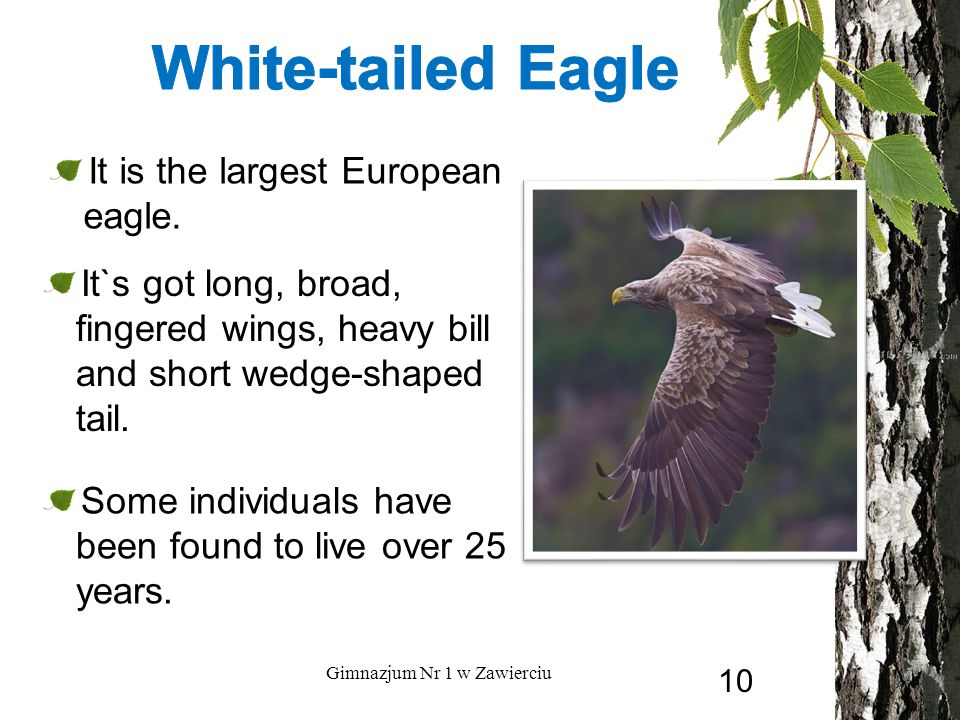 Some individuals have been found to live over 25 years. Gimnazjum Nr 1 w Zawierciu It is the largest European eagle. It`s got long, broad, fingered wi