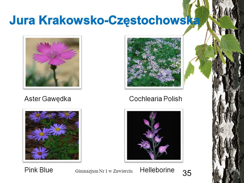 Aster Gawędka Cochlearia Polish HelleborinePink Blue Gimnazjum Nr 1 w Zawierciu 35