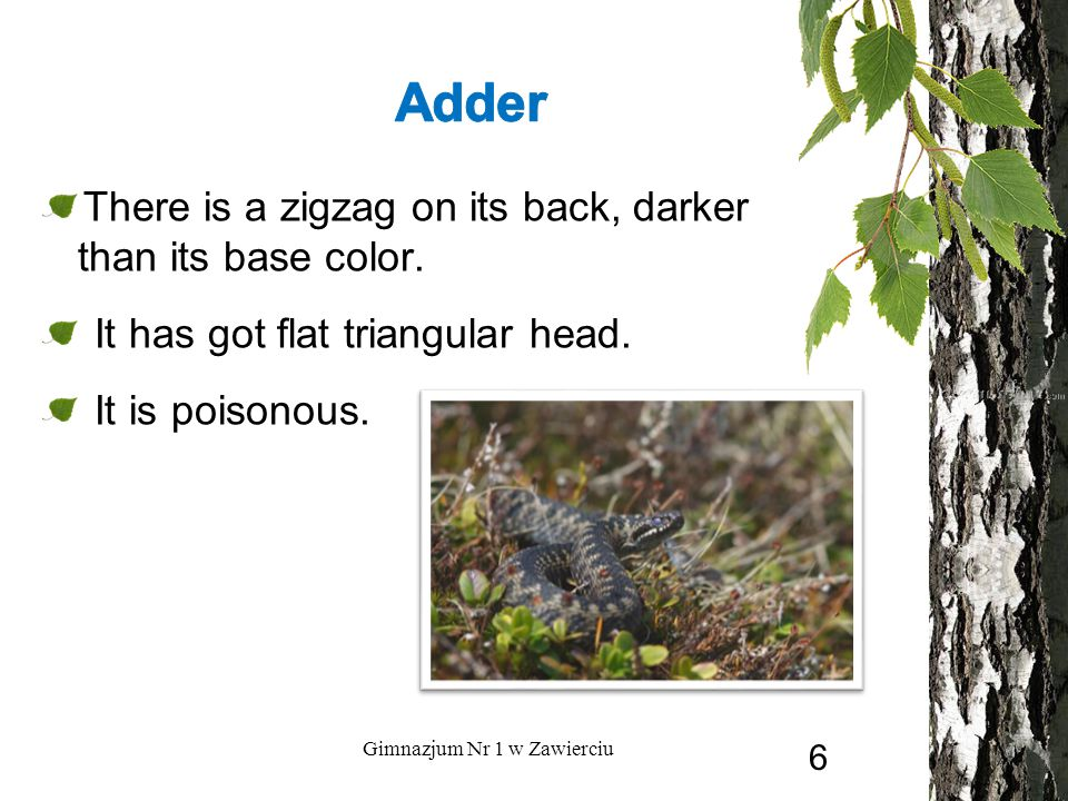 There is a zigzag on its back, darker than its base color. It has got flat triangular head. It is poisonous. Gimnazjum Nr 1 w Zawierciu 6