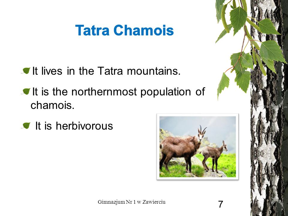 It lives in the Tatra mountains. It is the northernmost population of chamois. It is herbivorous Gimnazjum Nr 1 w Zawierciu 7