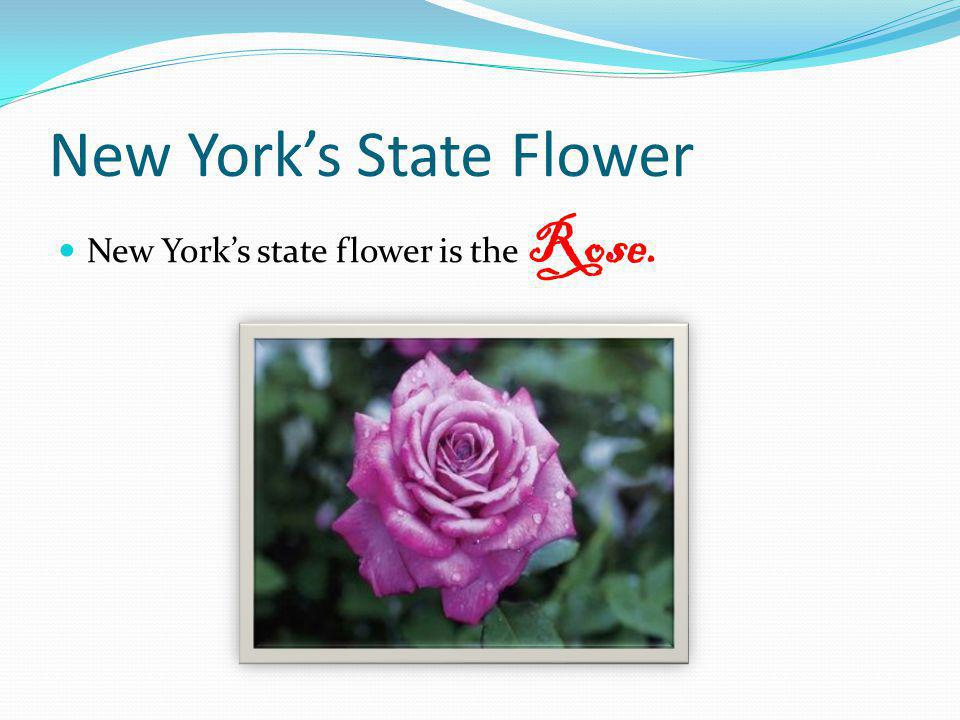 New Yorks State Flower New Yorks state flower is the Rose.