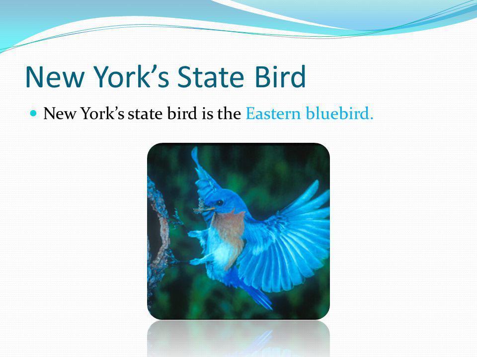 New Yorks State Bird New Yorks state bird is the Eastern bluebird.