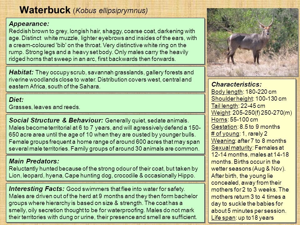 Waterbuck (Kobus ellipsiprymnus) Habitat: They occupy scrub, savannah grasslands, gallery forests and riverine woodlands close to water.