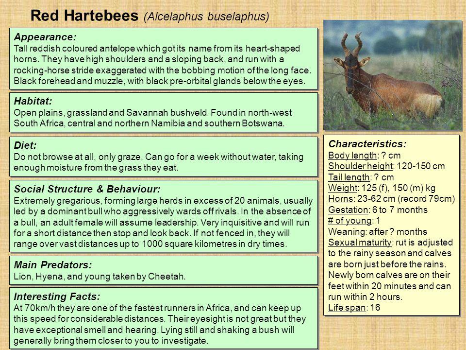 Red Hartebees (Alcelaphus buselaphus) Habitat: Open plains, grassland and Savannah bushveld.