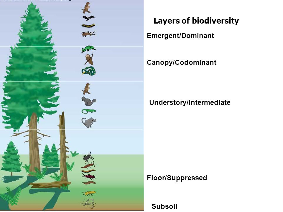1. OLD-GROWTH FOREST -FRONTIER FOREST -Undisturbed by humans and / or natural disasters -Very BIODIVERSE due to increased recycling of nutrients and g