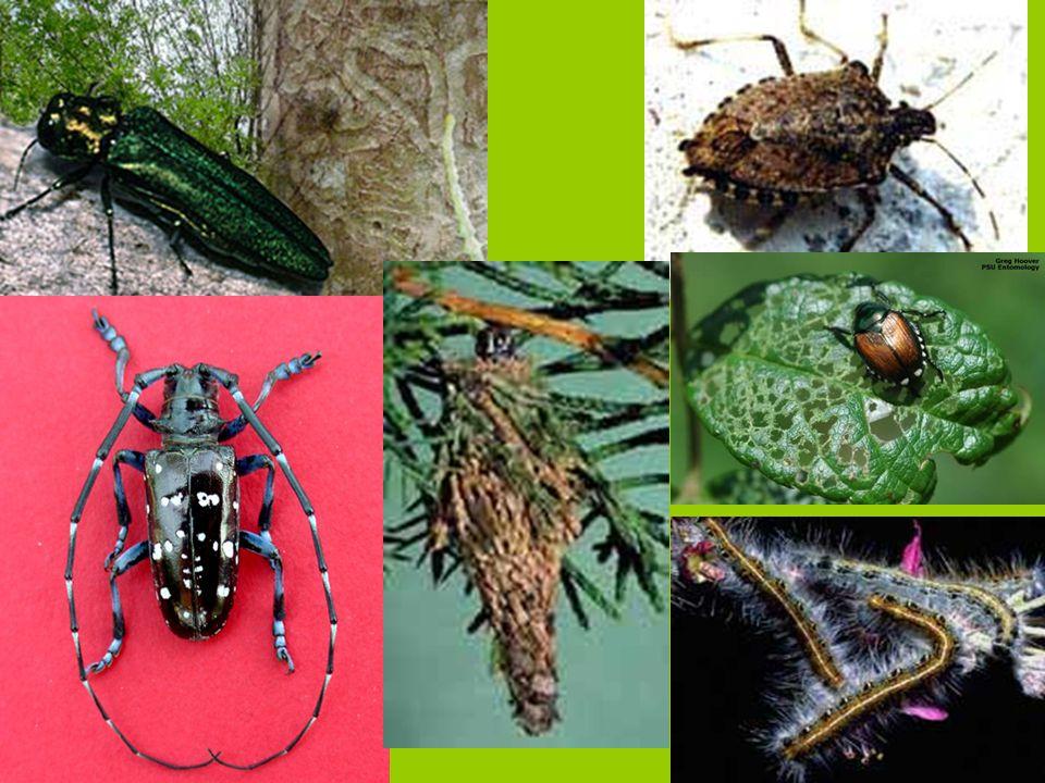 2. Parasitic Insects: Bark beetle Gypsy moth Hemlock woolly adelgid