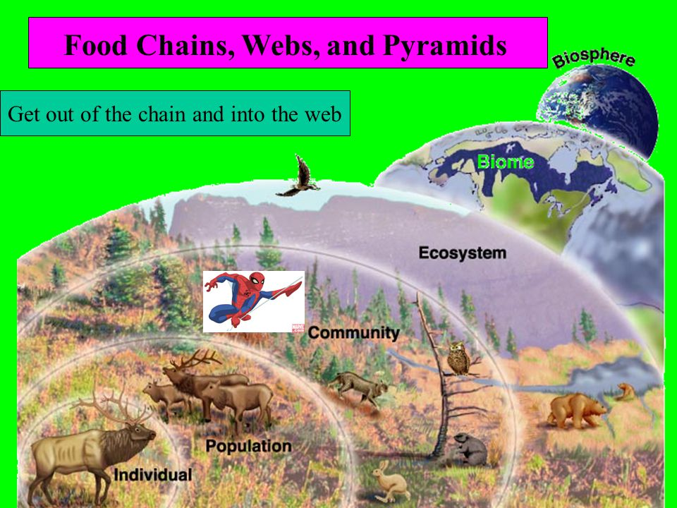 Lesson 5 Intro to Ecology Get out of the chain and into the web Food Chains, Webs, and Pyramids