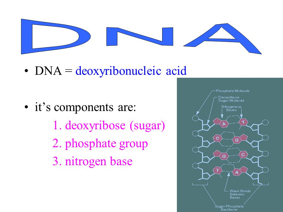 DNA = deoxyribonucleic acid its components are: 1.