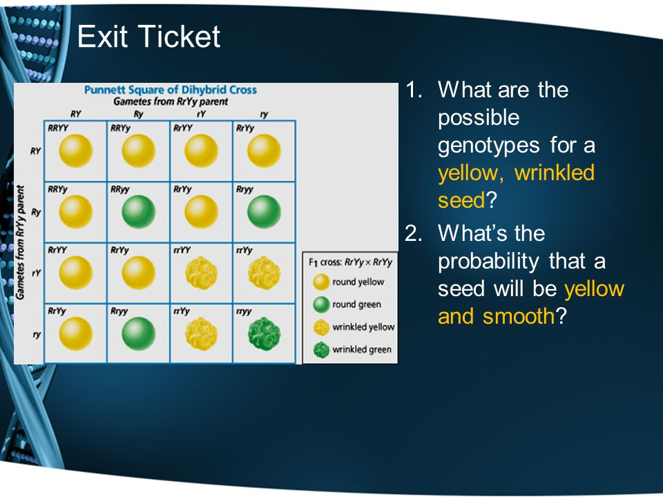 Exit Ticket 1.What are the possible genotypes for a yellow, wrinkled seed? 2.Whats the probability that a seed will be yellow and smooth?