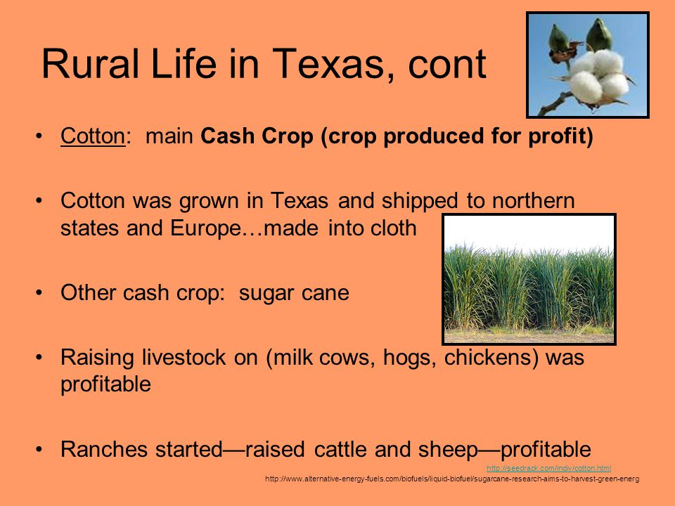 Rural Life in Texas, cont Cotton: main Cash Crop (crop produced for profit) Cotton was grown in Texas and shipped to northern states and Europe…made i