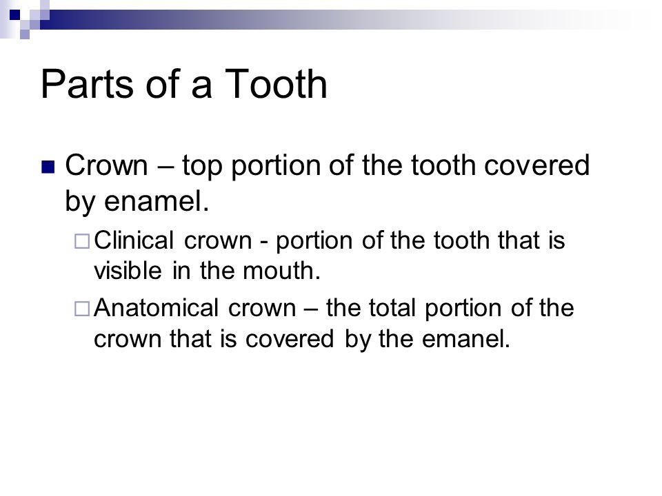Incisal edge – cutting edge of the anterior teeth.