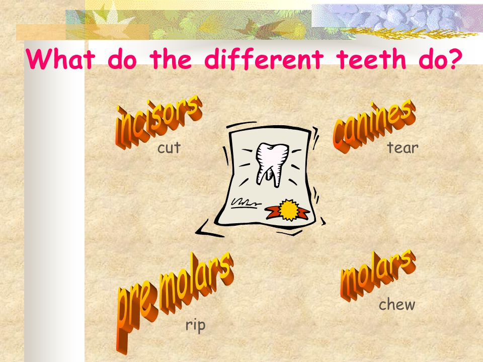 cuttear rip chew What do the different teeth do?