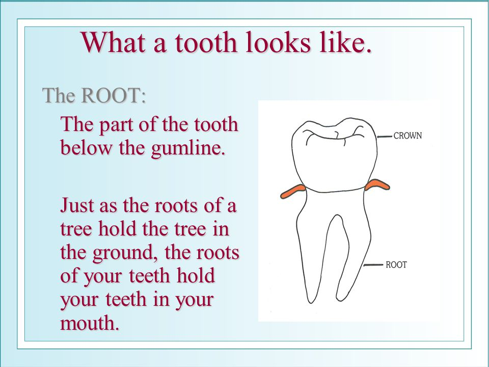 What a tooth looks like. The ROOT: The part of the tooth below the gumline. Just as the roots of a tree hold the tree in the ground, the roots of your