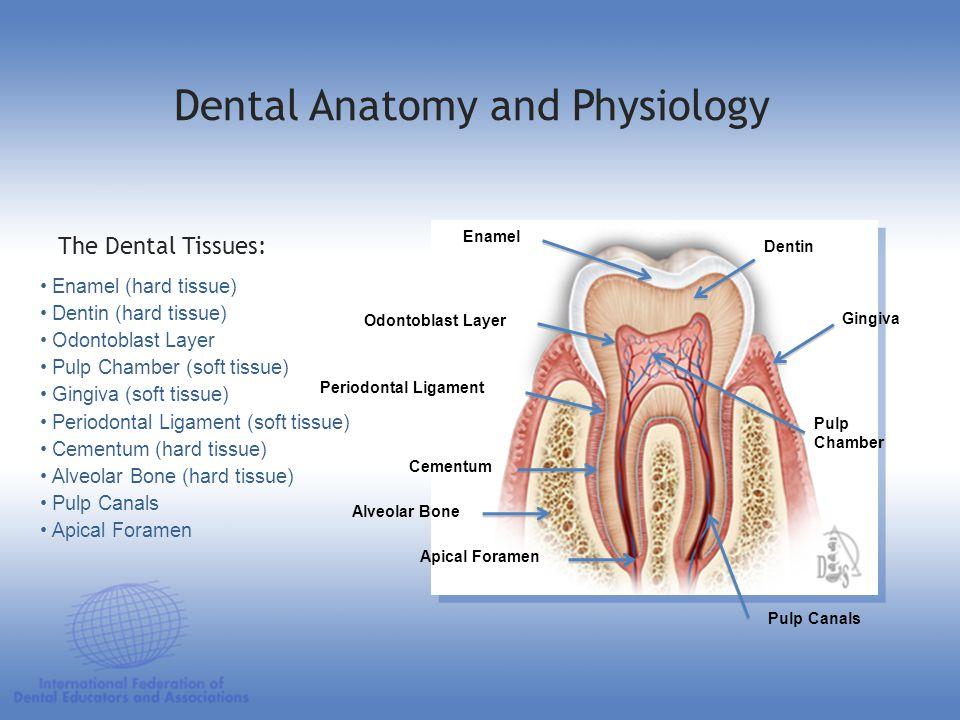 Enamel Alveolar Bone Pulp Chamber Dental Anatomy and Physiology Enamel (hard tissue) Dentin (hard tissue) Odontoblast Layer Pulp Chamber (soft tissue)