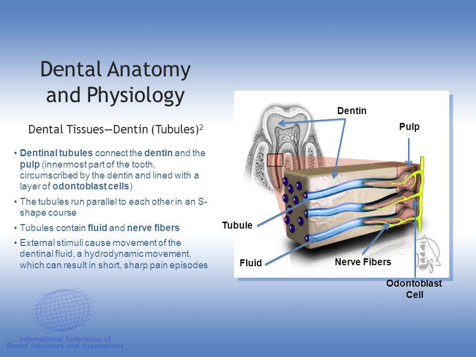 Dentin Pulp Tubule Fluid Nerve Fibers Odontoblast Cell Dental Anatomy and Physiology Dental TissuesDentin (Tubules) 2 Dentinal tubules connect the den