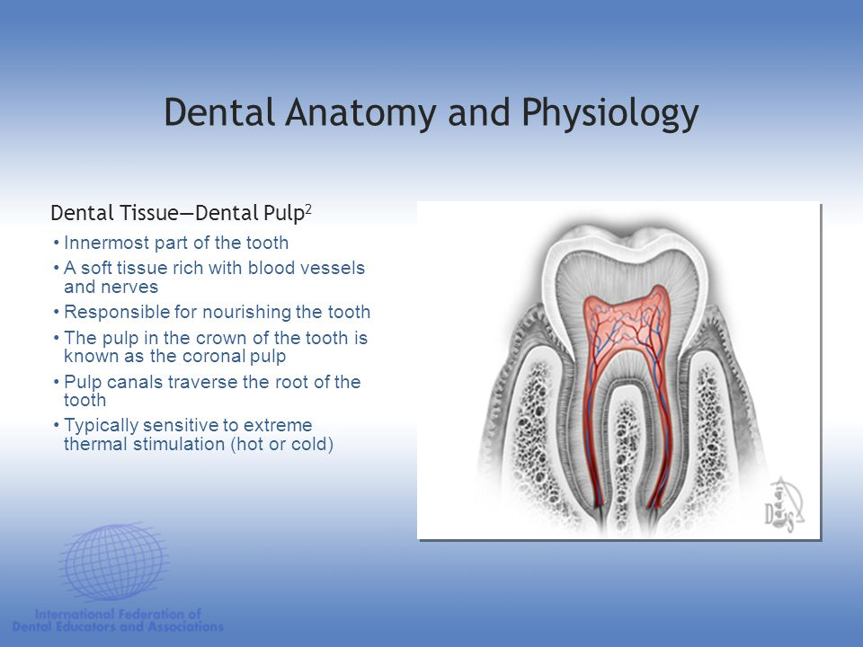 Innermost part of the tooth A soft tissue rich with blood vessels and nerves Responsible for nourishing the tooth The pulp in the crown of the tooth i