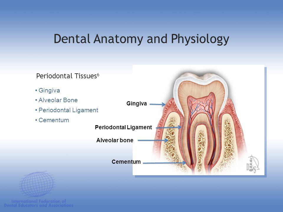 Gingiva Alveolar Bone Periodontal Ligament Cementum Periodontal Tissues 6 Dental Anatomy and Physiology Gingiva Alveolar bone Cementum Periodontal Lig