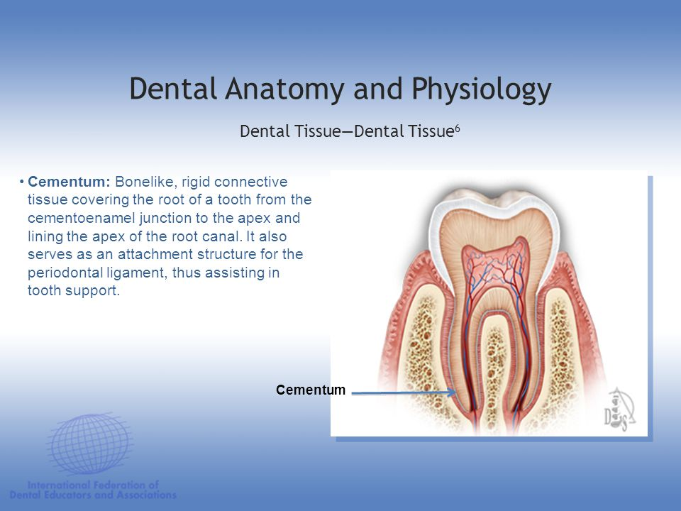 Cementum: Bonelike, rigid connective tissue covering the root of a tooth from the cementoenamel junction to the apex and lining the apex of the root c