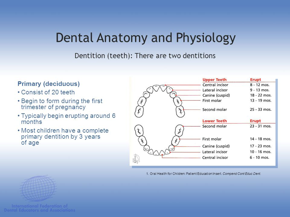 Primary (deciduous) Consist of 20 teeth Begin to form during the first trimester of pregnancy Typically begin erupting around 6 months Most children h