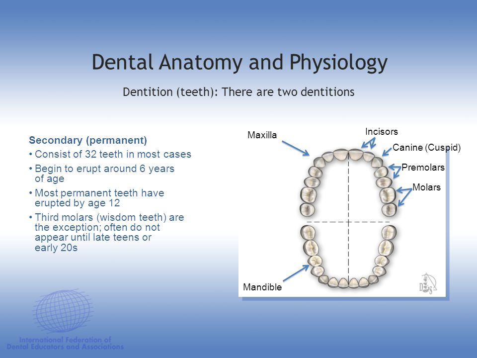 Dental Anatomy and Physiology Secondary (permanent) Consist of 32 teeth in most cases Begin to erupt around 6 years of age Most permanent teeth have e