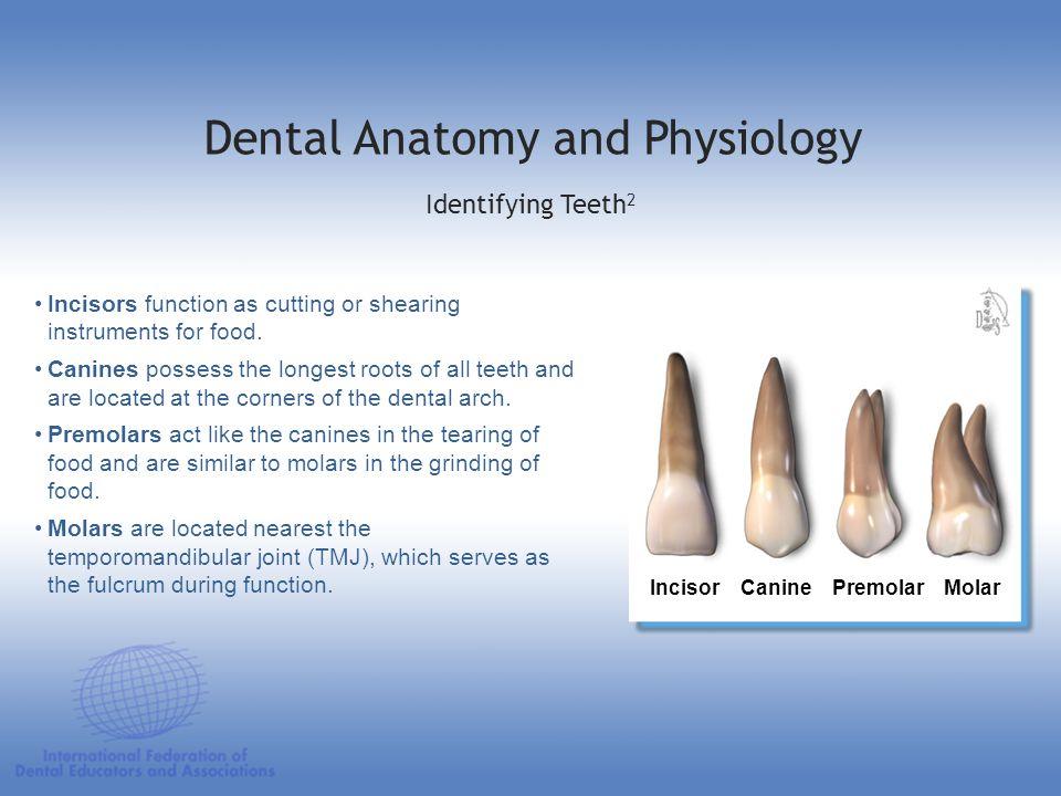 Dental Anatomy and Physiology Apical Labial Lingual Distal Mesial Incisal Teeth: Identification Tooth Surfaces Labial Apical Lingual Distal Apical Mesial Incisal