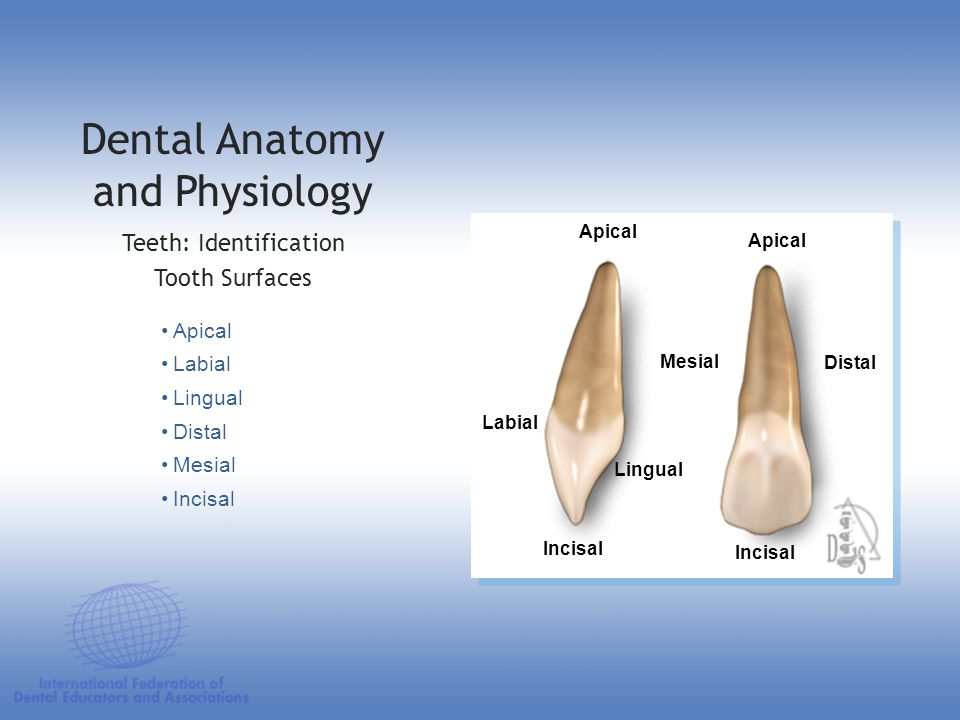 Dental Anatomy and Physiology Presence of tubules renders dentin permeable to fluoride Number of tubules per unit area varies depending on the location because of the decreasing area of the dentin surfaces in the pulpal direction Dental TissuesDentin (Tubules) 2