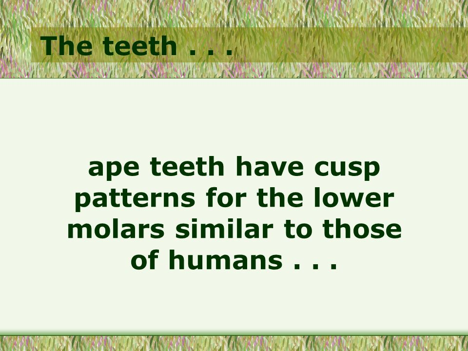 The teeth... ape teeth have cusp patterns for the lower molars similar to those of humans...