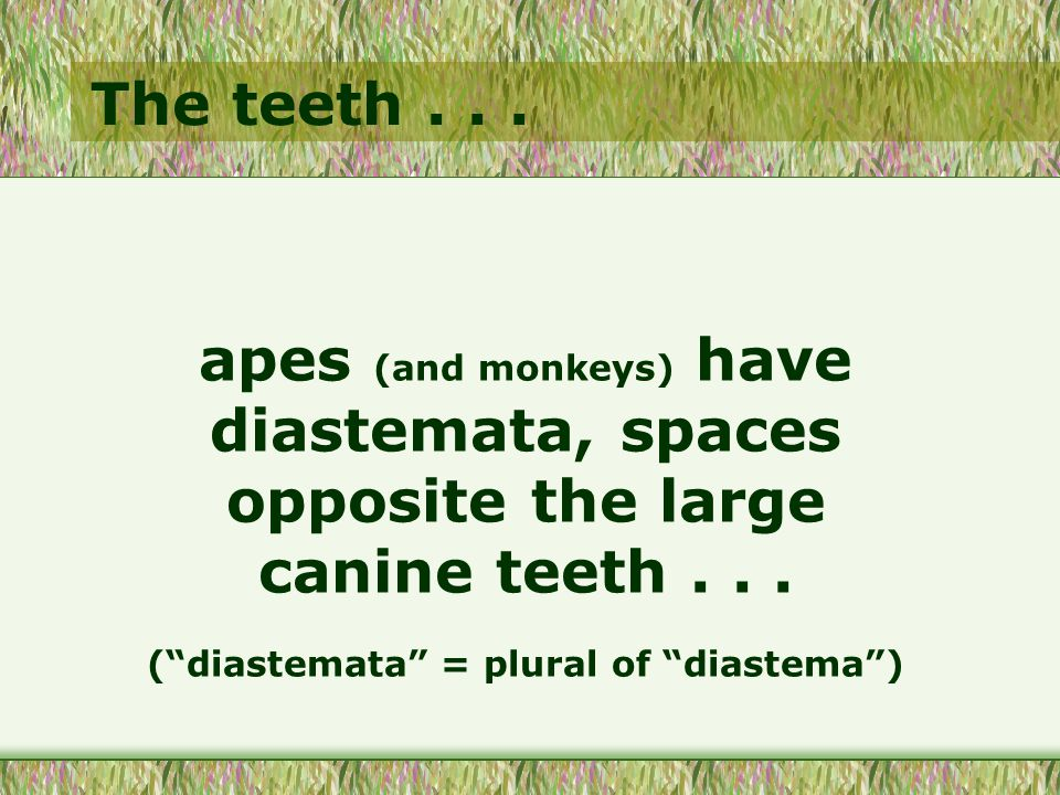 The teeth... apes (and monkeys) have diastemata, spaces opposite the large canine teeth...