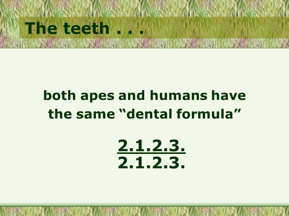 The teeth... both apes and humans have the same dental formula 2.1.2.3. 2.1.2.3.