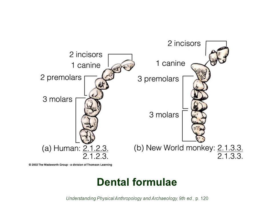 Dental formulae Understanding Physical Anthropology and Archaeology, 9th ed., p. 120