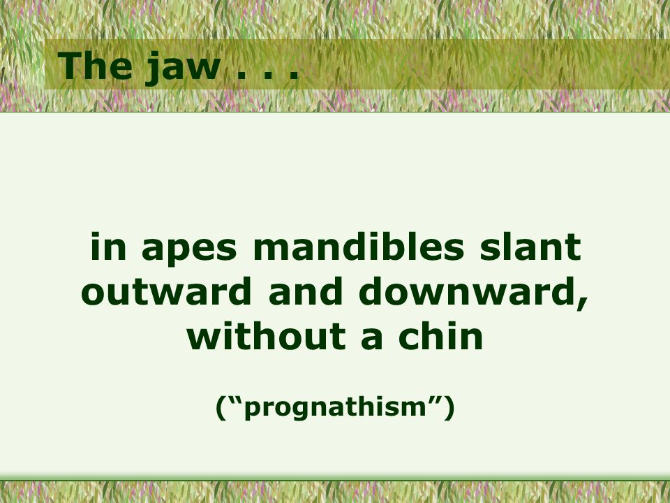 The jaw... in apes mandibles slant outward and downward, without a chin (prognathism)