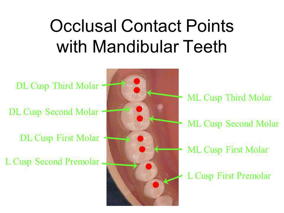 Occlusal Contact Points with Mandibular Teeth DL Cusp Third Molar DL Cusp Second Molar DL Cusp First Molar ML Cusp Third Molar ML Cusp Second Molar ML